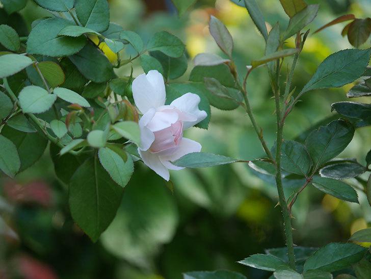 ジュビレ・アンペリアル(Jubile Imperial)の夏花が咲いた。半ツルバラ。2020年-002.jpg