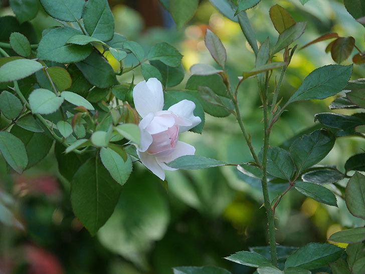ジュビレ・アンペリアル(Jubile Imperial)の夏花が咲いた。半ツルバラ。2020年-003.jpg
