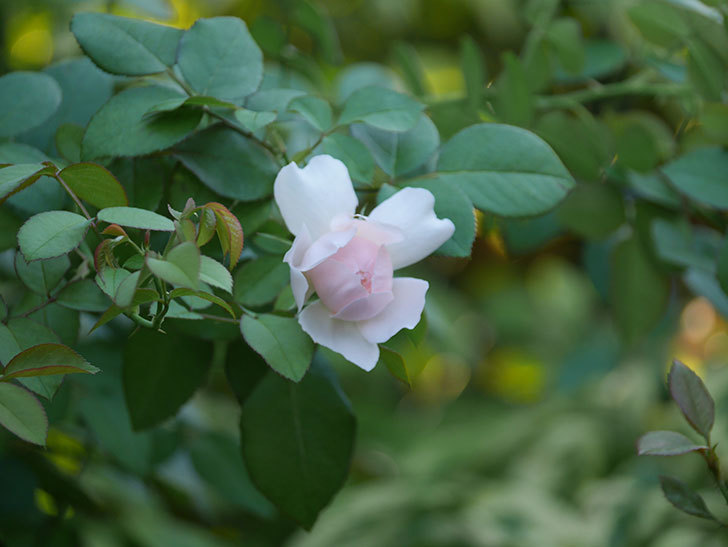 ジュビレ・アンペリアル(Jubile Imperial)の夏花が咲いた。半ツルバラ。2020年-004.jpg