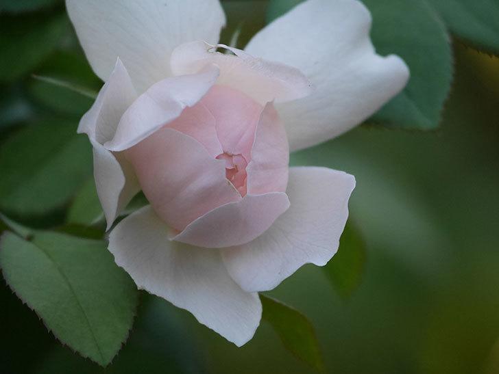 ジュビレ・アンペリアル(Jubile Imperial)の夏花が咲いた。半ツルバラ。2020年-006.jpg
