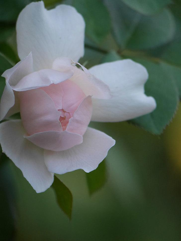 ジュビレ・アンペリアル(Jubile Imperial)の夏花が咲いた。半ツルバラ。2020年-007.jpg