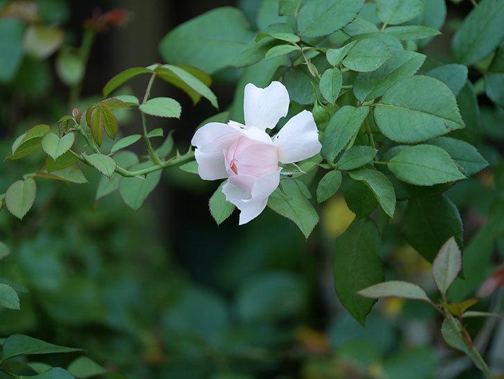 ジュビレ・アンペリアル(Jubile Imperial)の夏花が咲いた。半ツルバラ。2020年-008.jpg
