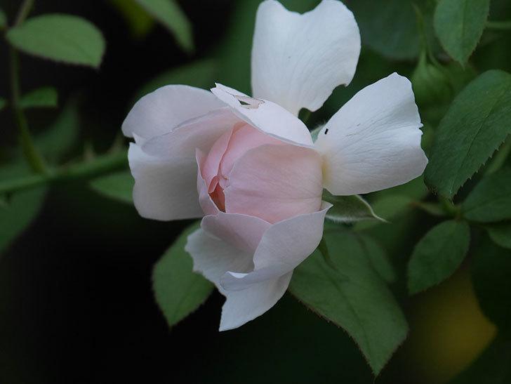 ジュビレ・アンペリアル(Jubile Imperial)の夏花が咲いた。半ツルバラ。2020年-009.jpg