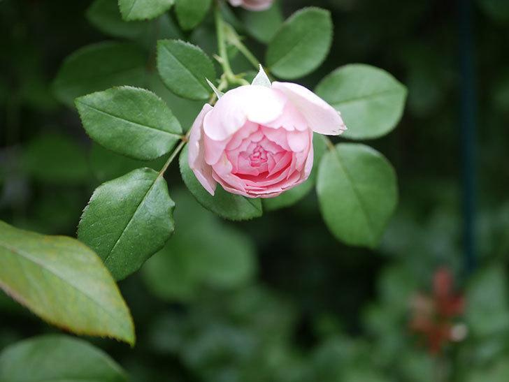 ジュビレ・アンペリアル(Jubile Imperial)の残っていた2番花が咲いた。2020年-001.jpg