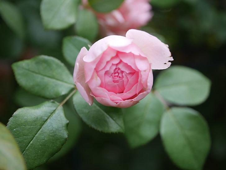 ジュビレ・アンペリアル(Jubile Imperial)の残っていた2番花が咲いた。2020年-002.jpg