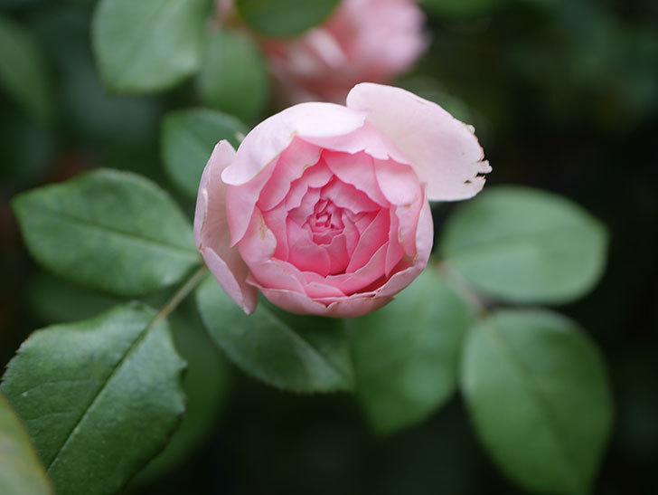 ジュビレ・アンペリアル(Jubile Imperial)の残っていた2番花が咲いた。2020年-003.jpg