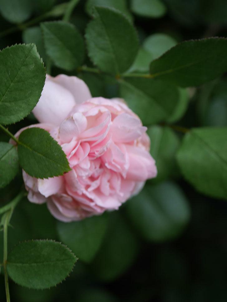 ジュビレ・アンペリアル(Jubile Imperial)の残っていた2番花が咲いた。2020年-004.jpg