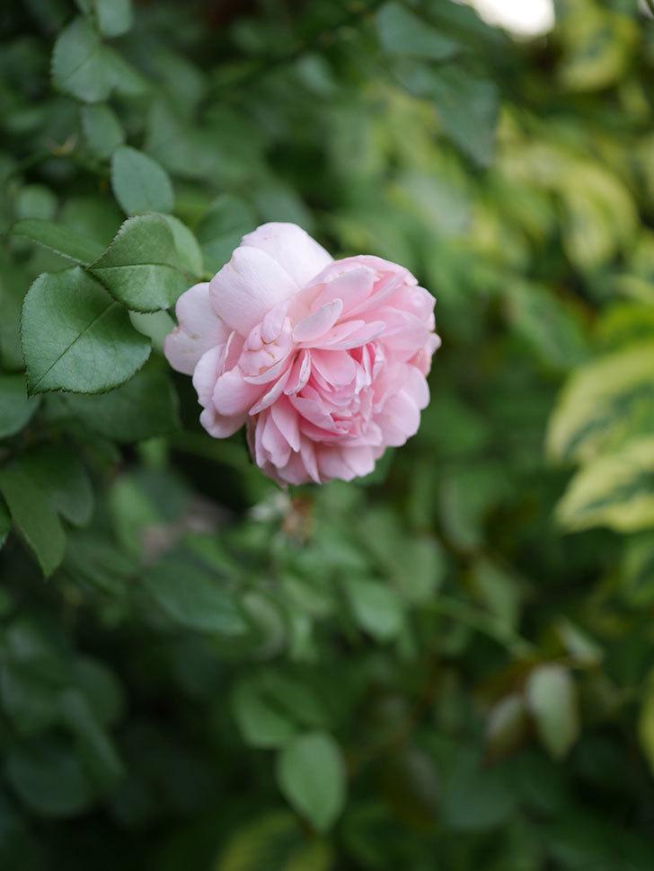 ジュビレ・アンペリアル(Jubile Imperial)の残っていた2番花が咲いた。2020年-005.jpg