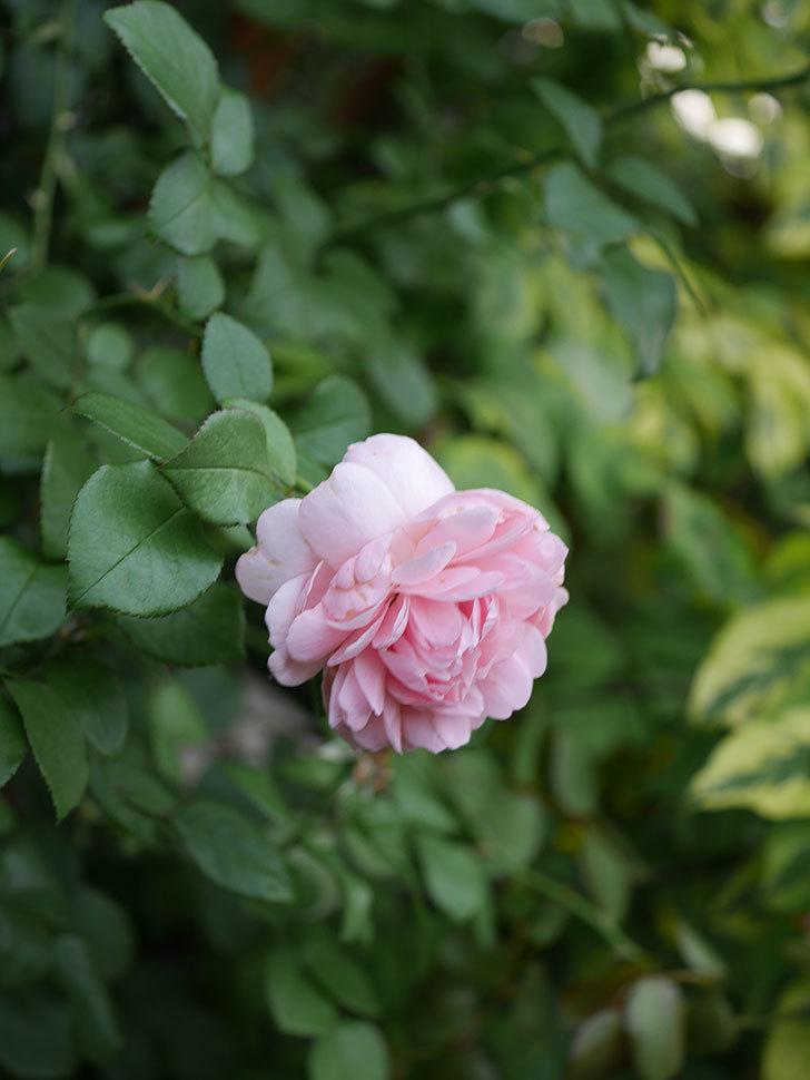 ジュビレ・アンペリアル(Jubile Imperial)の残っていた2番花が咲いた。2020年-006.jpg
