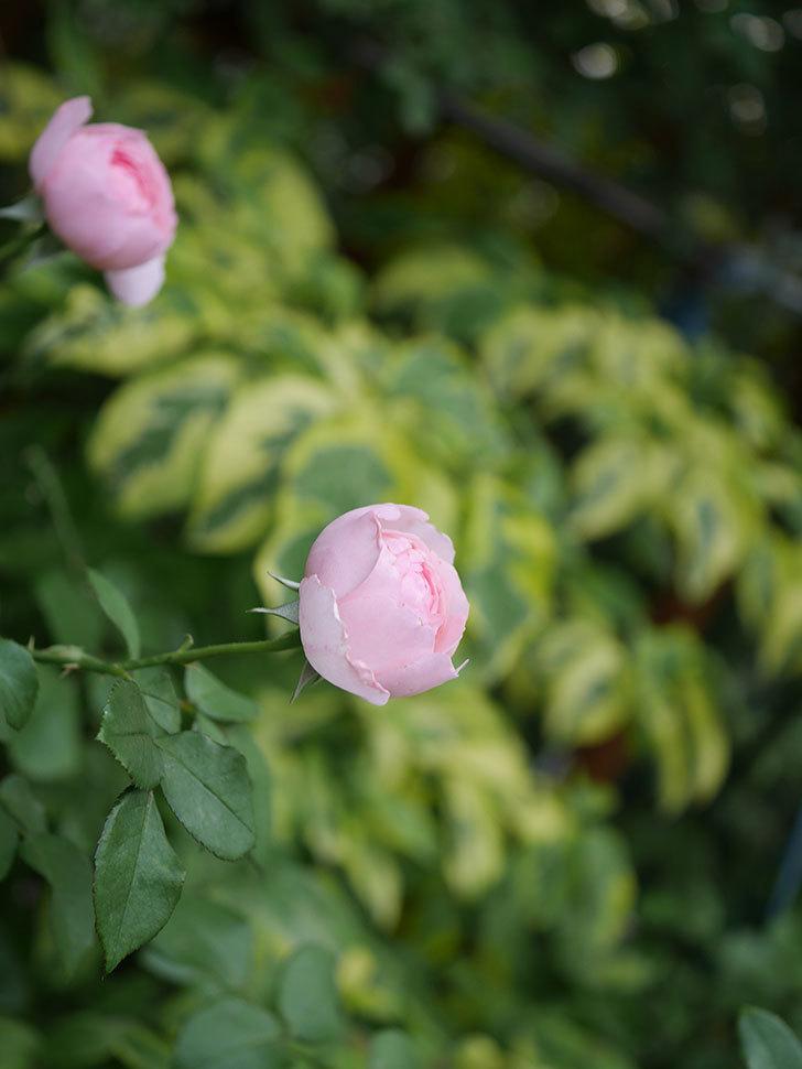 ジュビレ・アンペリアル(Jubile Imperial)の残っていた2番花が咲いた。2020年-007.jpg