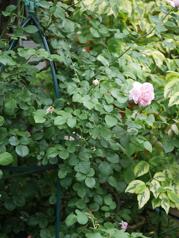 ジュビレ・アンペリアル(Jubile Imperial)の残っていた2番花が咲いた。2020年-008.jpg