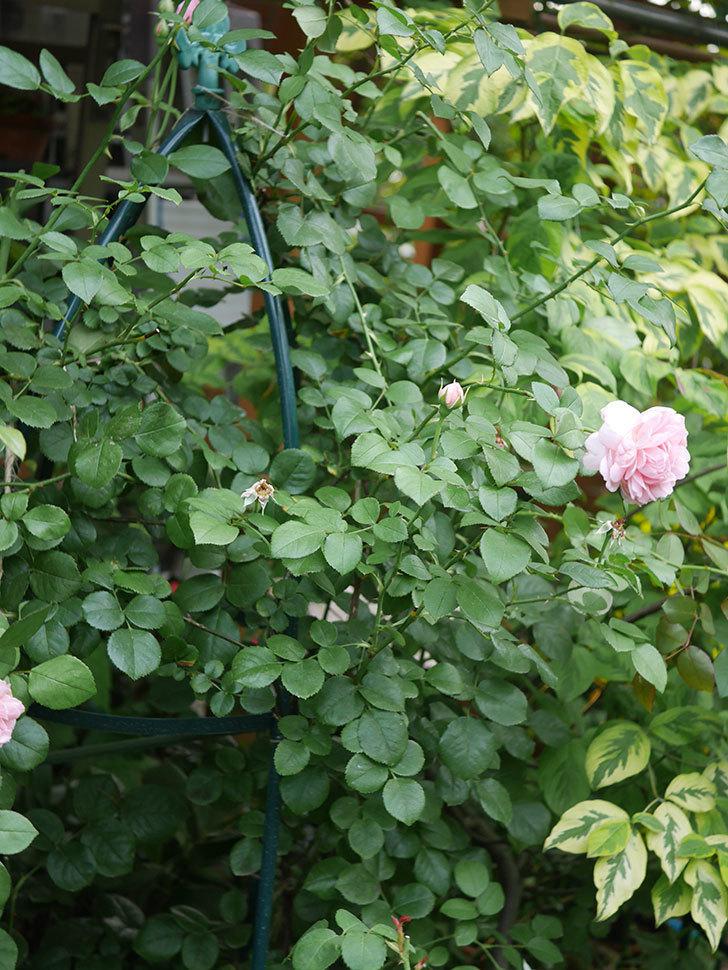 ジュビレ・アンペリアル(Jubile Imperial)の残っていた2番花が咲いた。2020年-009.jpg