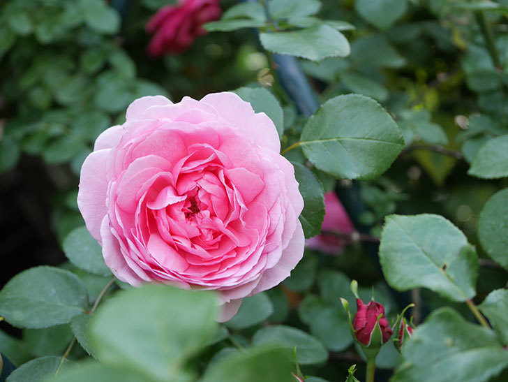 ジュビレ・アンペリアル(Jubile Imperial)の花がたくさん咲いた。半ツルバラ。2021年-001.jpg