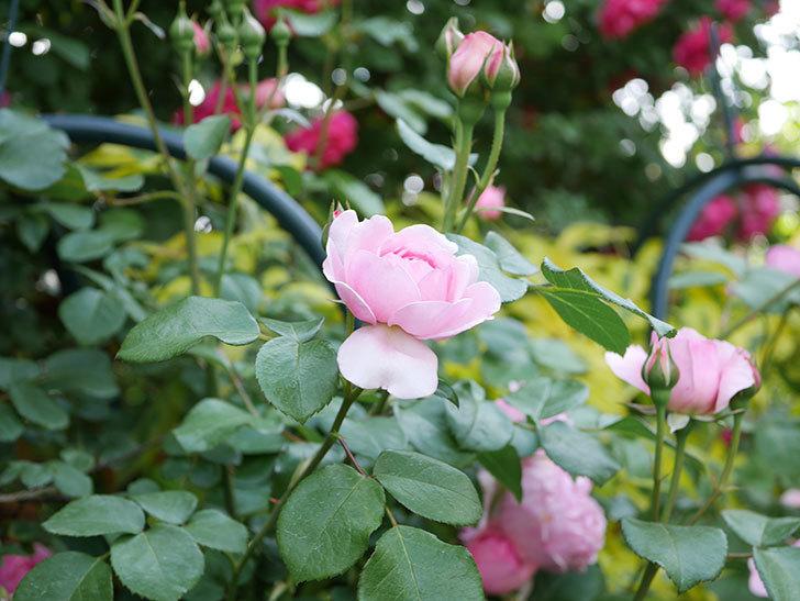 ジュビレ・アンペリアル(Jubile Imperial)の花がたくさん咲いた。半ツルバラ。2021年-003.jpg