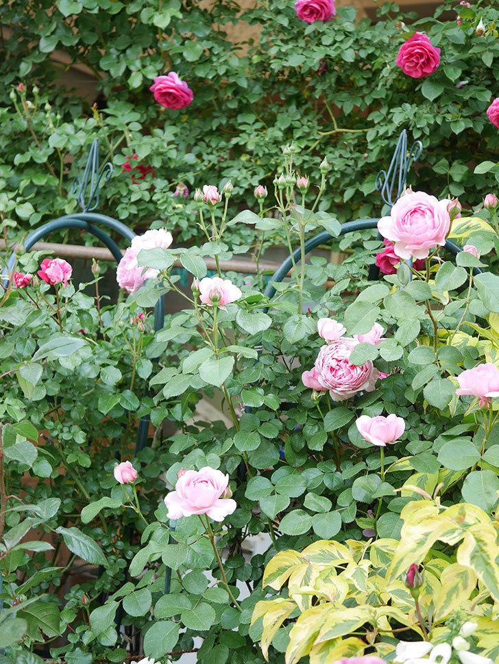 ジュビレ・アンペリアル(Jubile Imperial)の花がたくさん咲いた。半ツルバラ。2021年-004.jpg