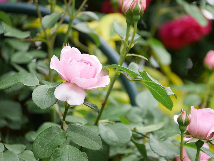 ジュビレ・アンペリアル(Jubile Imperial)の花がたくさん咲いた。半ツルバラ。2021年-005.jpg