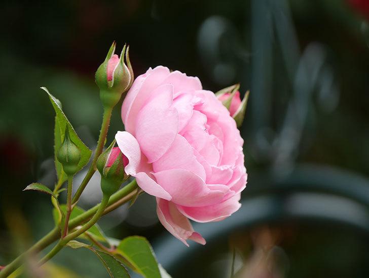 ジュビレ・アンペリアル(Jubile Imperial)の花がたくさん咲いた。半ツルバラ。2021年-007.jpg