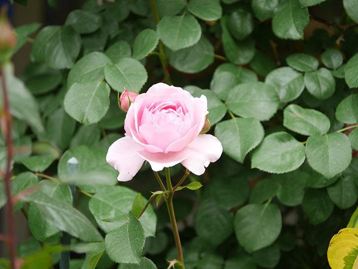 ジュビレ・アンペリアル(Jubile Imperial)の花がたくさん咲いた。半ツルバラ。2021年-008.jpg