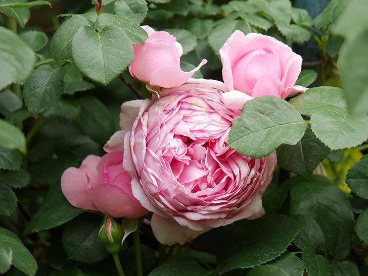 ジュビレ・アンペリアル(Jubile Imperial)の花がたくさん咲いた。半ツルバラ。2021年-009.jpg