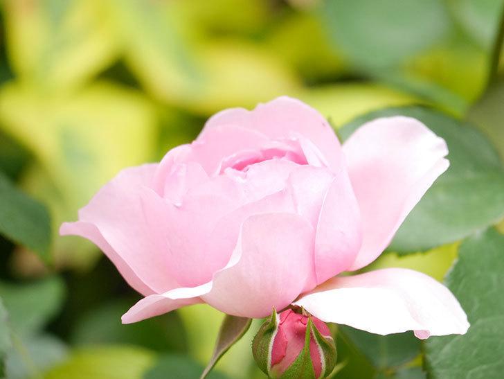 ジュビレ・アンペリアル(Jubile Imperial)の花がたくさん咲いた。半ツルバラ。2021年-010.jpg