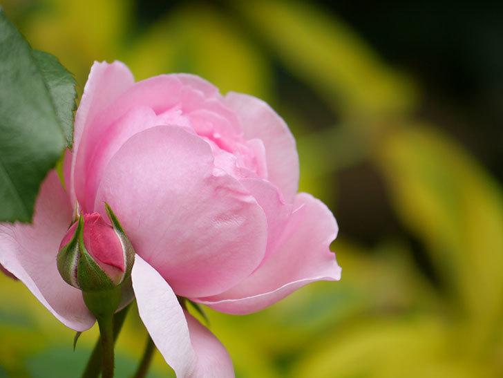 ジュビレ・アンペリアル(Jubile Imperial)の花がたくさん咲いた。半ツルバラ。2021年-011.jpg