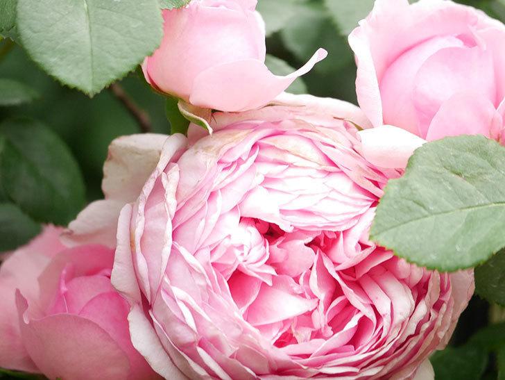 ジュビレ・アンペリアル(Jubile Imperial)の花がたくさん咲いた。半ツルバラ。2021年-012.jpg