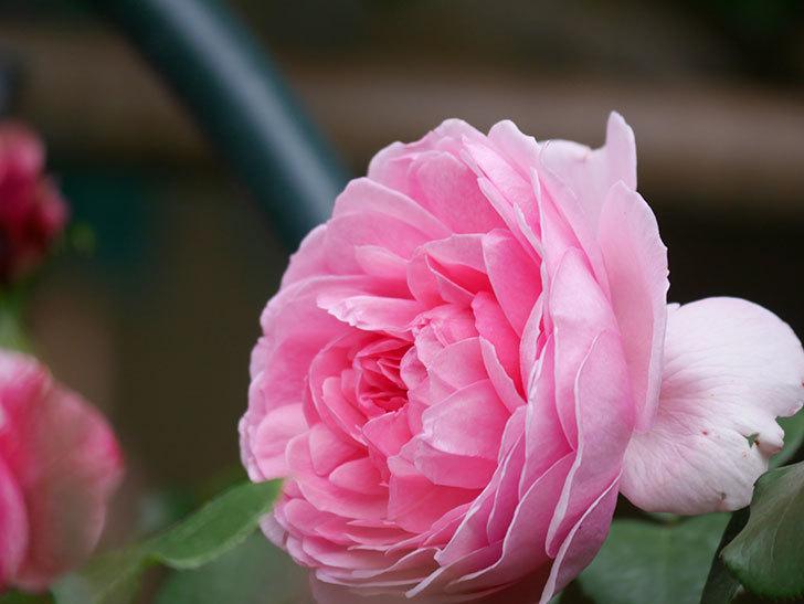 ジュビレ・アンペリアル(Jubile Imperial)の花がたくさん咲いた。半ツルバラ。2021年-014.jpg