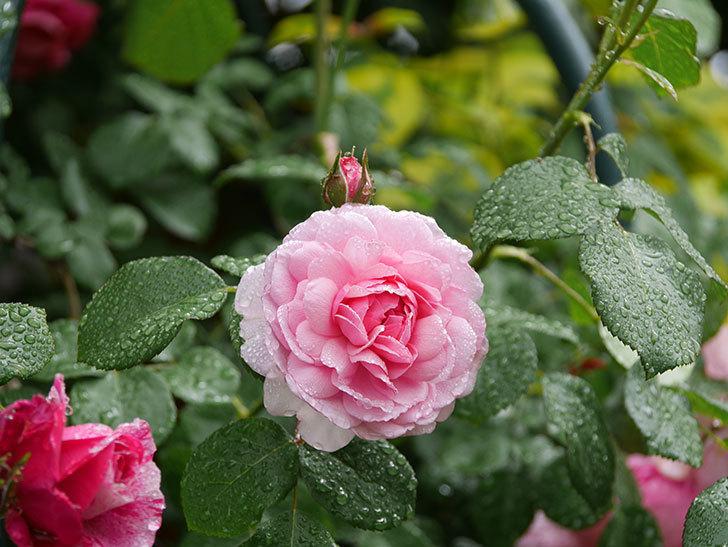 ジュビレ・アンペリアル(Jubile Imperial)の花がたくさん咲いた。半ツルバラ。2021年-015.jpg