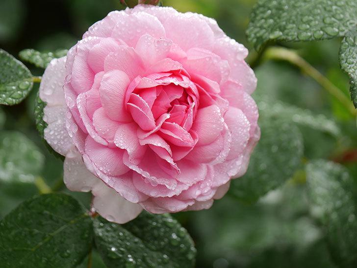 ジュビレ・アンペリアル(Jubile Imperial)の花がたくさん咲いた。半ツルバラ。2021年-017.jpg