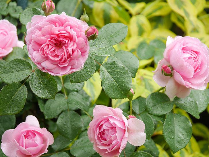 ジュビレ・アンペリアル(Jubile Imperial)の花がたくさん咲いた。半ツルバラ。2021年-019.jpg
