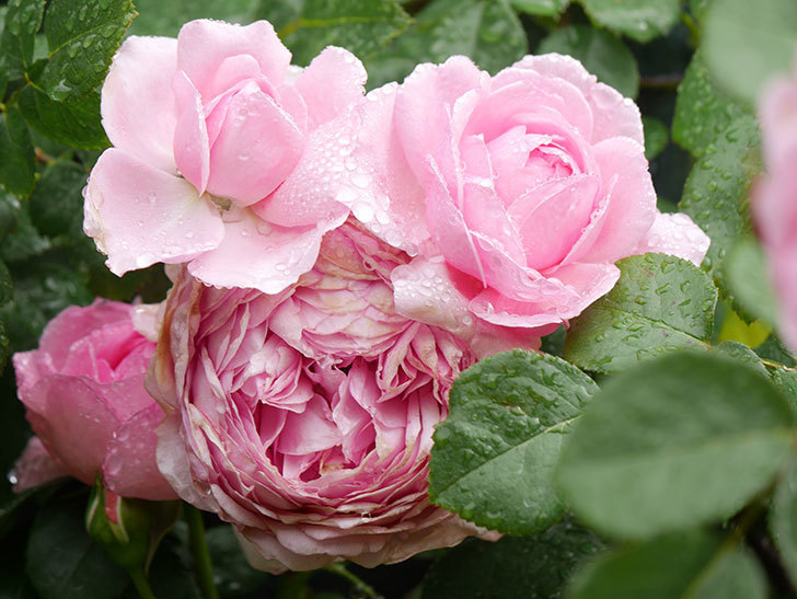 ジュビレ・アンペリアル(Jubile Imperial)の花がたくさん咲いた。半ツルバラ。2021年-020.jpg