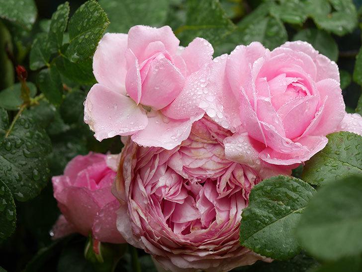 ジュビレ・アンペリアル(Jubile Imperial)の花がたくさん咲いた。半ツルバラ。2021年-021.jpg