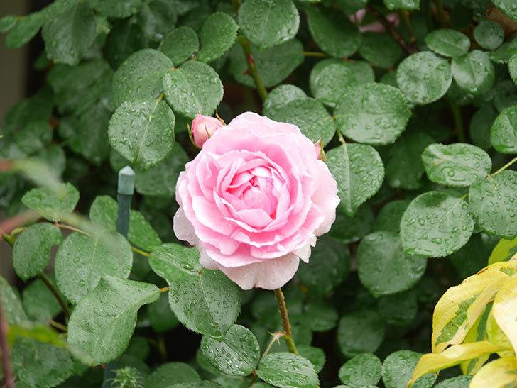 ジュビレ・アンペリアル(Jubile Imperial)の花がたくさん咲いた。半ツルバラ。2021年-022.jpg