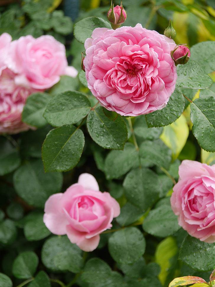 ジュビレ・アンペリアル(Jubile Imperial)の花がたくさん咲いた。半ツルバラ。2021年-023.jpg