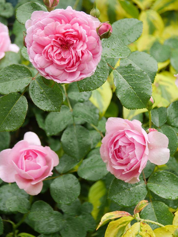 ジュビレ・アンペリアル(Jubile Imperial)の花がたくさん咲いた。半ツルバラ。2021年-024.jpg