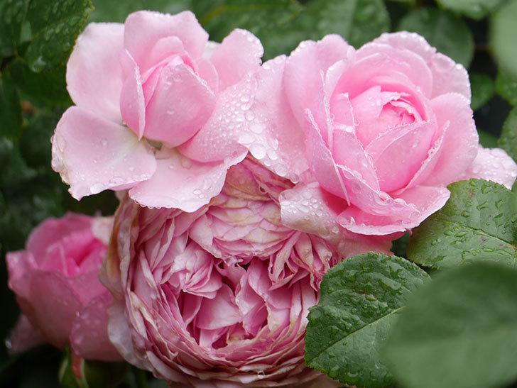 ジュビレ・アンペリアル(Jubile Imperial)の花がたくさん咲いた。半ツルバラ。2021年-025.jpg