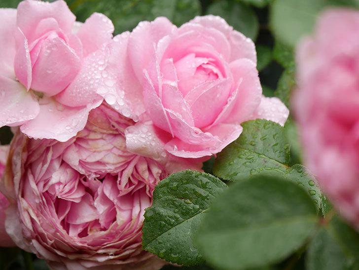 ジュビレ・アンペリアル(Jubile Imperial)の花がたくさん咲いた。半ツルバラ。2021年-026.jpg