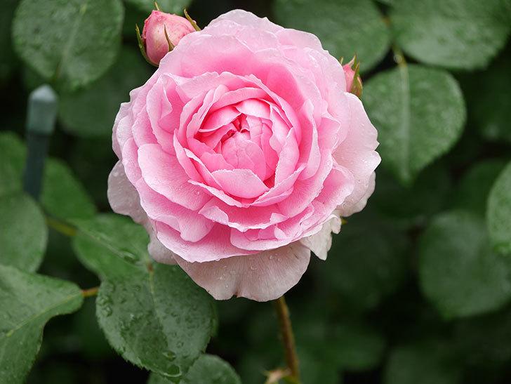 ジュビレ・アンペリアル(Jubile Imperial)の花がたくさん咲いた。半ツルバラ。2021年-027.jpg