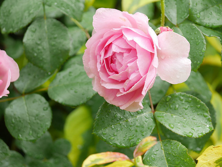 ジュビレ・アンペリアル(Jubile Imperial)の花がたくさん咲いた。半ツルバラ。2021年-028.jpg