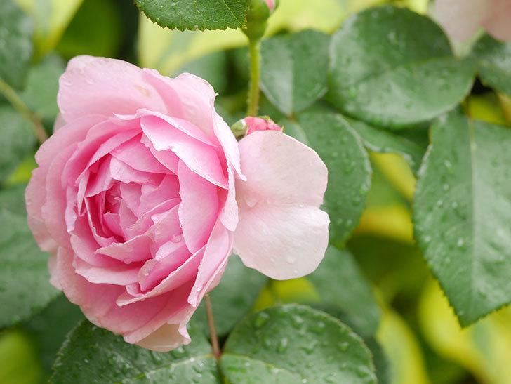 ジュビレ・アンペリアル(Jubile Imperial)の花がたくさん咲いた。半ツルバラ。2021年-029.jpg