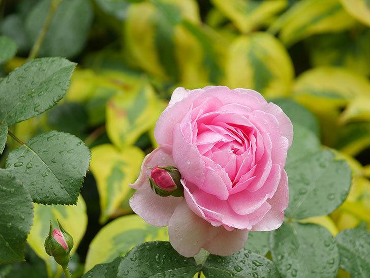 ジュビレ・アンペリアル(Jubile Imperial)の花がたくさん咲いた。半ツルバラ。2021年-030.jpg