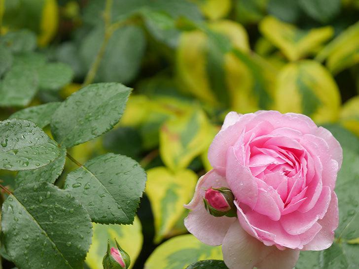 ジュビレ・アンペリアル(Jubile Imperial)の花がたくさん咲いた。半ツルバラ。2021年-031.jpg