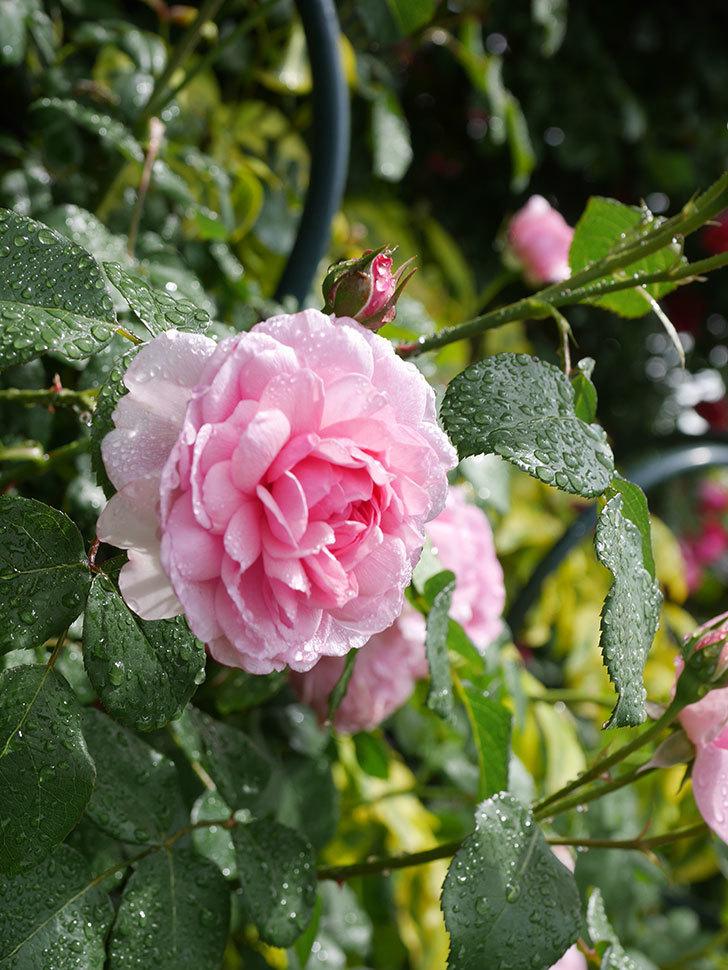 ジュビレ・アンペリアル(Jubile Imperial)の花がたくさん咲いた。半ツルバラ。2021年-032.jpg