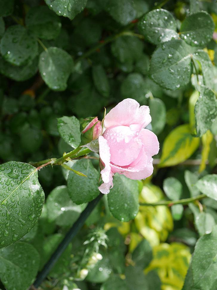 ジュビレ・アンペリアル(Jubile Imperial)の花がたくさん咲いた。半ツルバラ。2021年-033.jpg