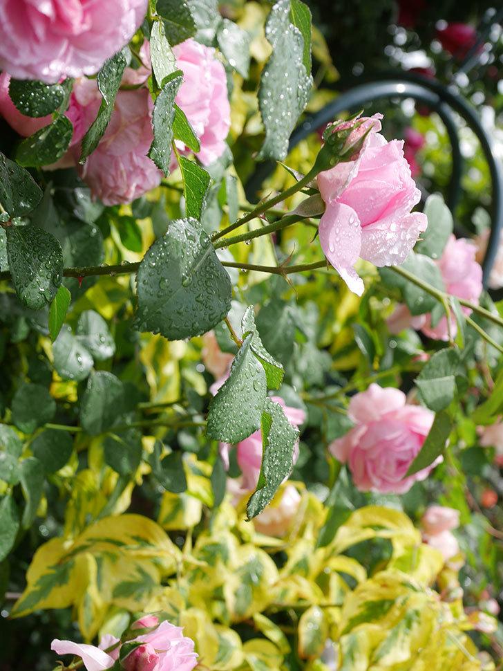 ジュビレ・アンペリアル(Jubile Imperial)の花がたくさん咲いた。半ツルバラ。2021年-034.jpg