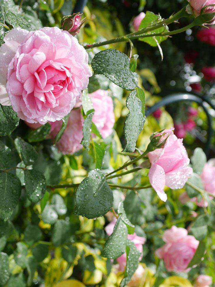 ジュビレ・アンペリアル(Jubile Imperial)の花がたくさん咲いた。半ツルバラ。2021年-035.jpg