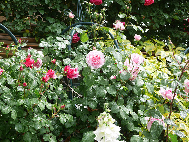 ジュビレ・アンペリアル(Jubile Imperial)の花がたくさん咲いた。半ツルバラ。2021年-036.jpg
