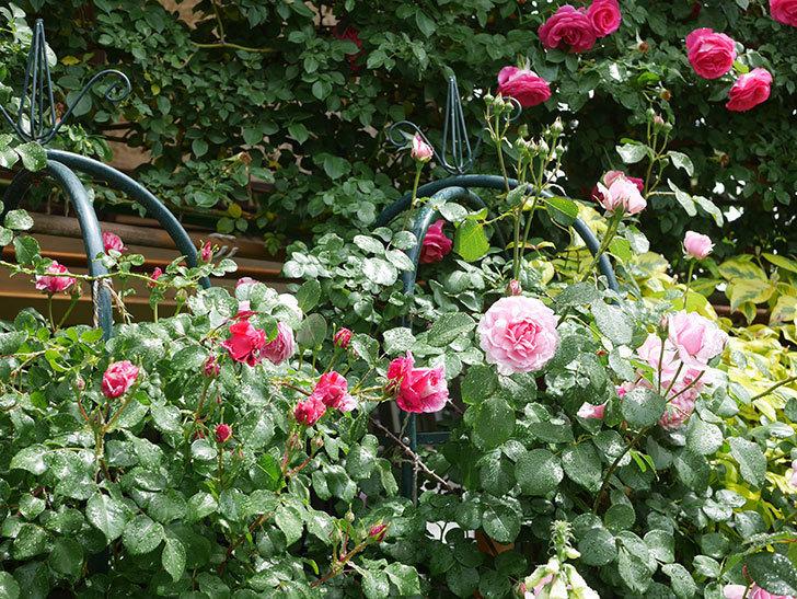ジュビレ・アンペリアル(Jubile Imperial)の花がたくさん咲いた。半ツルバラ。2021年-037.jpg