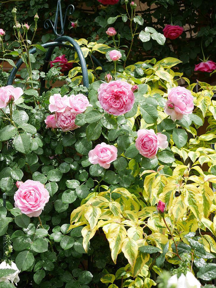 ジュビレ・アンペリアル(Jubile Imperial)の花がたくさん咲いた。半ツルバラ。2021年-039.jpg