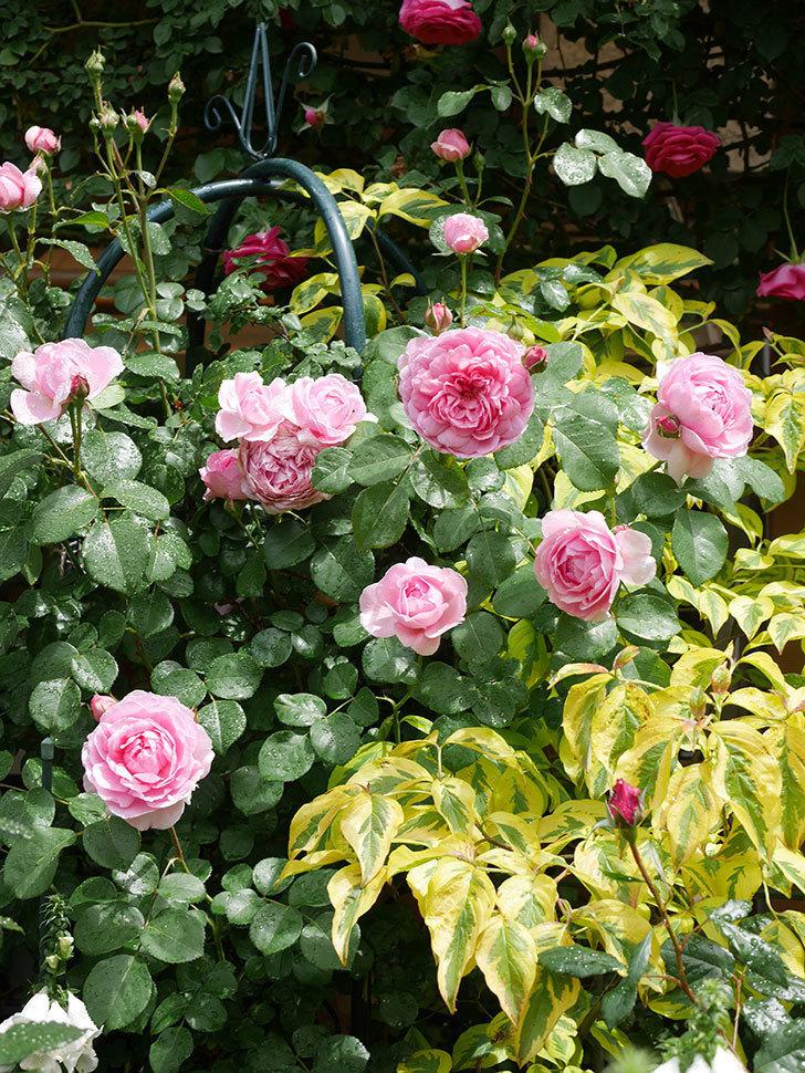 ジュビレ・アンペリアル(Jubile Imperial)の花がたくさん咲いた。半ツルバラ。2021年-040.jpg